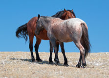Wild Horse Mustang Bay Band Stallion with his Strawberry Red Roan Mare on Sykes Ridge in the Pryor Mountains Wild Horse Range Stock Image