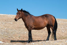 Wild Horse Mustang Bay Mare on Sykes Ridge in the Pryor Mountains Wild Horse Range in Montana Royalty Free Stock Photography