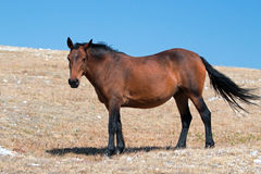 Wild Horse Mustang Bay Mare on Sykes Ridge in the Pryor Mountains Wild Horse Range in Montana – Wyoming Royalty Free Stock Image
