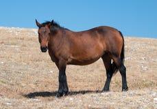 Wild Horse Mustang Bay Mare on Sykes Ridge in the Pryor Mountains Wild Horse Range in Wyoming. Wild Horse Mustang Bay Mare on Sykes Ridge in the Pryor Mountains Stock Photo