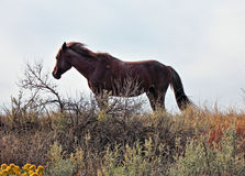 Wild Horse Mustang Bay Stud Stallion in Theodore Roosevelt National Park. In the North Dakota badlands royalty free stock image