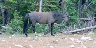 Wild Horse Mustang - Black Band Stallion who had just rolled in the dirt in the Pryor Mountains Wild Horse Range in Montana USA Royalty Free Stock Image