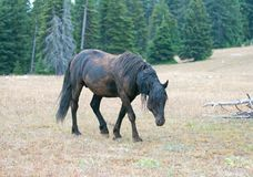 Wild Horse Mustang - Black Band Stallion who had just rolled in the dirt in the Pryor Mountains Wild Horse Range in Montana USA Royalty Free Stock Photography