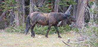 Wild Horse Mustang - Black Band Stallion who had just rolled in the dirt in the Pryor Mountains Wild Horse Range in Montana USA Stock Image