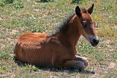 Wild Horse Mustang Buckskin Baby Colt Foal on Pryor Mountain Montana. USA Stock Photography