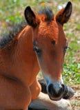 Wild Horse Mustang Buckskin Baby Colt Foal on Pryor Mountain Montana. USA Stock Image