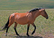 Wild Horse Mustang Buckskin Mare in the Pryor Mountains Royalty Free Stock Photo