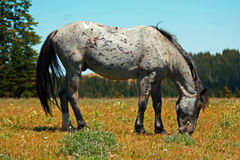 Wild Horse Mustang Gray Grulla Roan Stud Stallion in the Pryor mountains in Wyoming / Montana Royalty Free Stock Photo