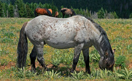 Wild Horse Mustang Gray Grulla Roan Stud Stallion in the Pryor mountains in Wyoming / Montana Stock Images