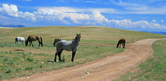 Wild Horse Mustang Gray Grulla Roan Stud Stallion in the Pryor mountains in Wyoming / Montana Royalty Free Stock Photography