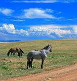 Wild Horse Mustang Gray Grulla Roan Stud Stallion in the Pryor mountains in Wyoming / Montana Stock Photography