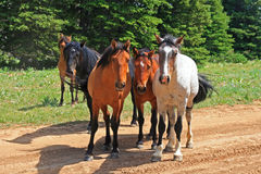 Wild Horse Mustang Herd in the Pryor Mountains in Montana Royalty Free Stock Photos