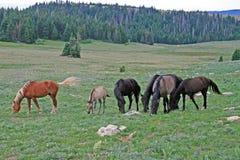 Wild Horse Mustang Herd in the Pryor Mountains in Montana Stock Image
