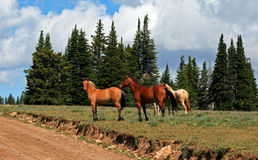 Wild Horse Mustang Herd in the Pryor Mountains in Montana Royalty Free Stock Image