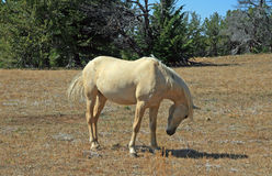 Wild Horse Mustang Palomino Mare lowering and arching her neck on Tillett Ridge in the Pryor Mountains in Wyoming Montana Stock Photos