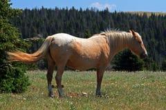 Wild Horse Mustang Palomino Mare Royalty Free Stock Photos