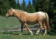 Wild Horse Mustang Palomino Mare Royalty Free Stock Photos
