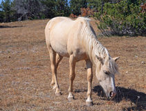 Wild Horse Mustang Palomino Mare on Tillett Ridge in the Pryor Mountains Wild Horse Range on the Wyoming Montana state line border Stock Photography