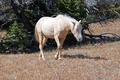 Wild Horse Mustang Palomino Mare on Tillett Ridge in the Pryor Mountains Wild Horse Range on the Wyoming Montana state line border Stock Images