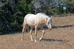 Wild Horse Mustang Palomino Mare on Tillett Ridge in the Pryor Mountains Wild Horse Range on the Wyoming Montana state line border Royalty Free Stock Image