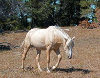 Wild Horse Mustang Palomino Mare on Tillett Ridge in the Pryor Mountains Wild Horse Range on the Wyoming Montana state line border Royalty Free Stock Photos