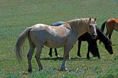Wild Horse Mustang Palomino Stud Stallion (this is Cloud Wild Stallion of the Rockies - PBS television program). In the Pryor Mtns of Montana Stock Photography