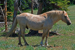 Wild Horse Mustang Palomino Stud Stallion (this is Cloud Wild Stallion of the Rockies - PBS television program) Royalty Free Stock Images