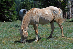 Wild Horse Mustang Palomino Stud Stallion (this is Cloud Wild Stallion of the Rockies - PBS television program). In the Pryor Mtns of Montana royalty free stock photos