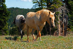 Wild Horse Mustang Palomino Stud Stallion (this is Cloud Wild Stallion of the Rockies - PBS television program) Royalty Free Stock Image
