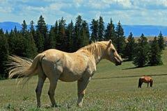 Wild Horse Mustang Palomino Stud Stallion (this is Cloud Wild Stallion of the Rockies - PBS television program) Stock Photos