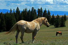 Wild Horse Mustang Palomino Stud Stallion (this is Cloud Wild Stallion of the Rockies - PBS television program). In the Pryor Mtns of Montana Stock Photos