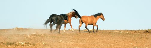 Wild Horse Mustang Stallion snaking his mares in the Pryor Mountains Wild Horse Range on border of Wyoming and Montana USA Stock Photo