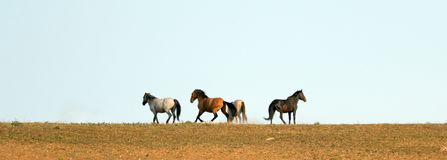 Wild Horse Mustang Stallions running and fighting in the Pryor Mountains Wild Horse Range on the border of Wyoming and Montana USA Stock Photos