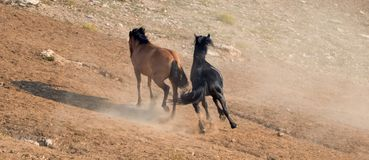 Wild Horse Mustang Stallions running and fighting in the Pryor Mountains Wild Horse Range on the border of Wyoming and Montana USA Royalty Free Stock Photo