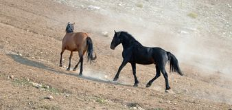Wild Horse Mustang Stallions running and fighting in the Pryor Mountains Wild Horse Range on the border of Wyoming and Montana USA Stock Photo