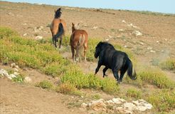 Wild Horse Mustang Stallions running and fighting in the Pryor Mountains Wild Horse Range on the border of Wyoming and Montana USA Royalty Free Stock Photos