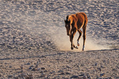 Wild horse of the Namib Stock Photos