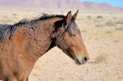 Wild horse of the Namib Royalty Free Stock Photo