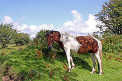 Wild horse in natural environment Stock Photography