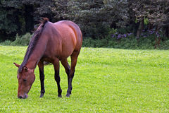 Wild horse in natural environment. On Bodmin Moor, Cornwall, UK Royalty Free Stock Photo