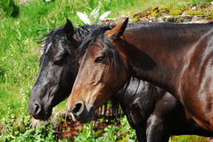 Wild horse in nature Royalty Free Stock Photos