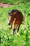 Wild horse in nature Royalty Free Stock Photography