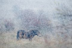 Wild horse in the nature habitat, winter scene with strong snow storm, snowflakes covered animal, Czech Republic royalty free stock images