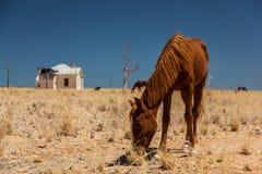 Wild horse near aus Stock Photo