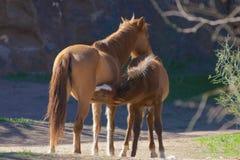 Wild Horse Nursing Royalty Free Stock Images