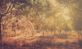 Wild horse in olive orchard Stock Photo