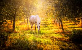 Wild horse in olive orchard stock photography