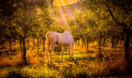 Wild horse in olive orchard Royalty Free Stock Photography