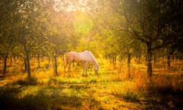 Wild horse in olive orchard Royalty Free Stock Photos