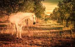 Wild horse in olive orchard Stock Images